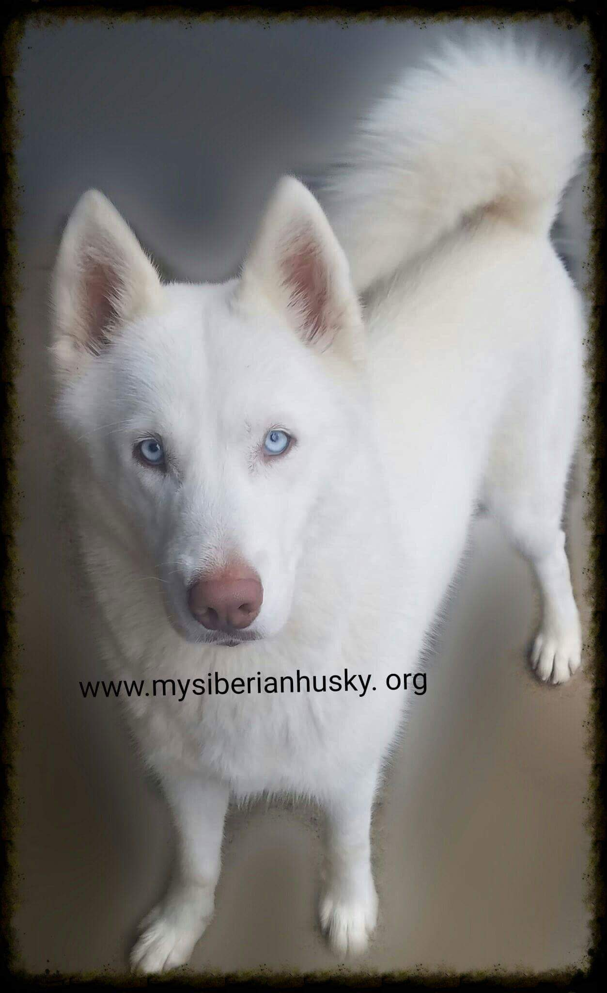 Solid Black Siberian Husky With Blue Eyes My Siberian Hus...