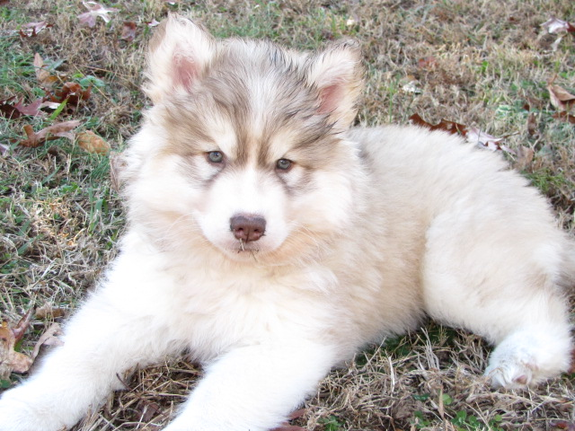 Goberain Siberian Husky Golden Retriever Mix Breeders Topics